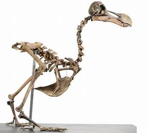 First dodo skeleton to come up for sale in 100 years to be ...
