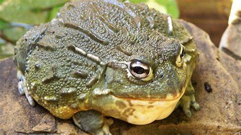 lihat kegagahan  keganasan bullfrog kodok  diburu