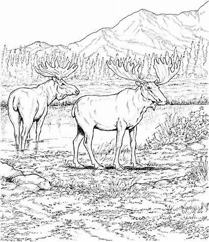 Coloring Moose Pages Animals Deers Printable Caribou