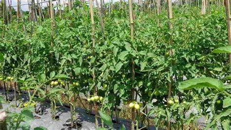 Tanaman Sayuran Dan Bumbu Oregano budidaya tanaman sayuran mikirbae