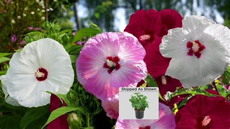 cottage farms hibiscus cottage farms 3 n 1 dazzling designs bombshell hardy hibiscus plant on qvc