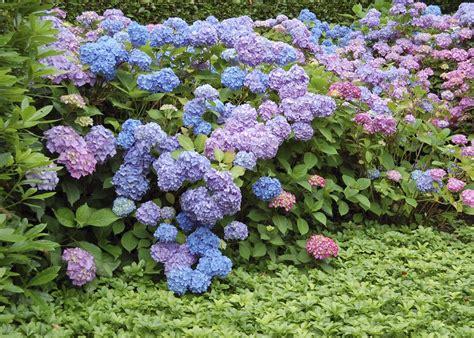 hortensia planter et tailler ooreka