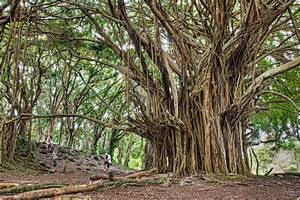 Picture of the Day: The Ancient Banyan Tree «TwistedSifter
