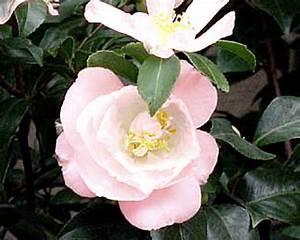 Camellia Japonica Winterhart : favorite camellia picks hgtv ~ Eleganceandgraceweddings.com Haus und Dekorationen