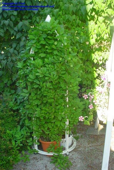 cathedral bells vine plantfiles pictures cathedral bells cup and saucer vine cobaea scandens by evert
