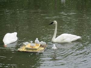 Young Trumpeter Swan images