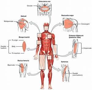 Diagram  Muscular System Face Diagram