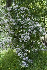 Petit Arbuste Fleuri : arbuste petites fleurs blanches la pilounette ~ Premium-room.com Idées de Décoration