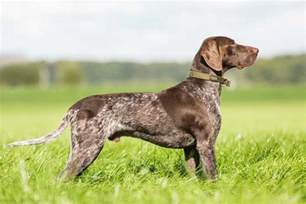 30 best hunting dogs gun dog breeds for all types of