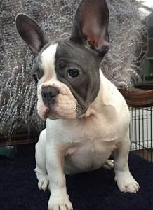 Stunning Blue and White French bulldog girl | Clitheroe ...