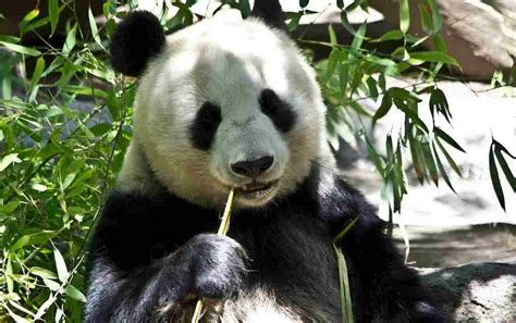 15 Fun Panda Facts For Kids To Discover And Learn