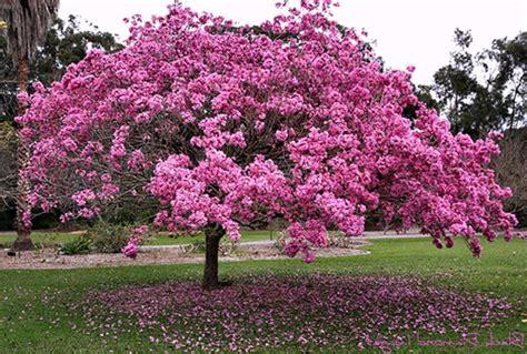 trumpet tree pink trumpet tree 10 seeds tabebuia rosea beautiful blooming tree
