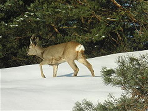 Bambi, Roe Deer, Moss, Norway  A Beautiful Visitor In My