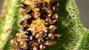 A Grouping Of Fern Sporangia Hurling Spores  Video  2