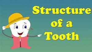 Tooth Structure For Kids