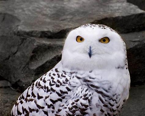 the snow owl description and habitat