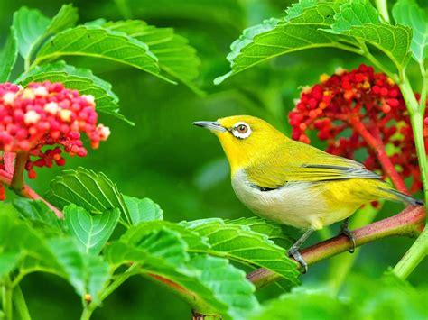 beautiful yellow bird green leaves  red flowers