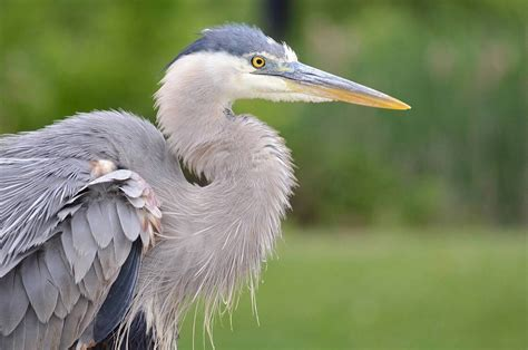 A Great Blue Heron Plays To The Camera At Milliken Park
