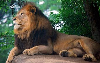 Lion King Zoo Wallpapers Widescreen