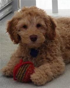 Puppy Price and Payment Methods | Labradoodles of the North