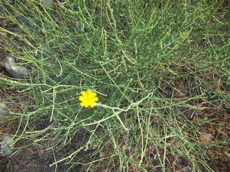 rush skeletonweed invasive species council  british