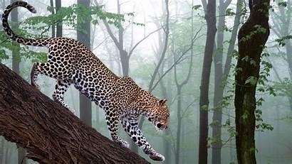 Jungle Wild Leopard Desktop Animal Wallpapers Animals