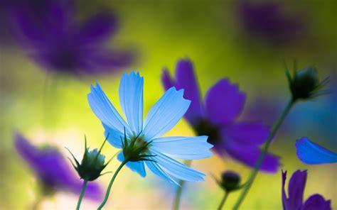 wallpaper cosmos flowers blue purple flowers