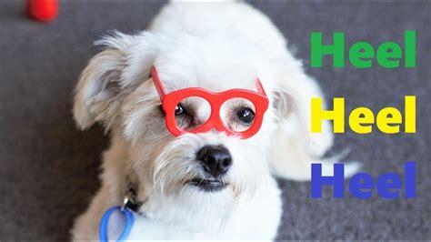 Puppy Chihuahua X Bichon Frise Chi Chon Heel On