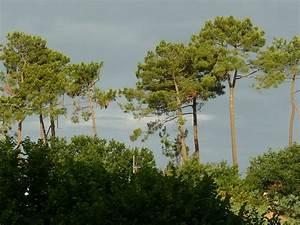 Parquet Pin Des Landes : pinus pinaster wikip dia ~ Dailycaller-alerts.com Idées de Décoration