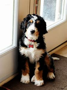 Bernedoodle Info, Temperament, Training, Diet, Puppies ...