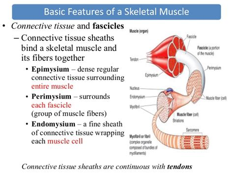 unit 6 muscular system