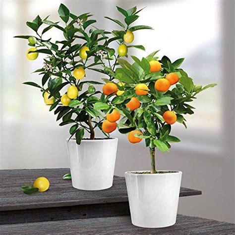 les 25 meilleures id 233 es de la cat 233 gorie citronnier sur bouture citronnier