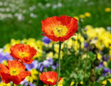 ต้นพอพพิ, ดอกไม้, ดอก, เบ่งบาน, สีแดง, ฤดูใบไม้ผลิ, สวน ...