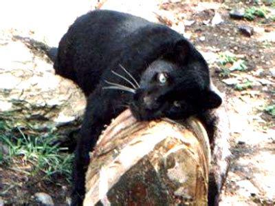 curiosidades  fotos de animales pantera