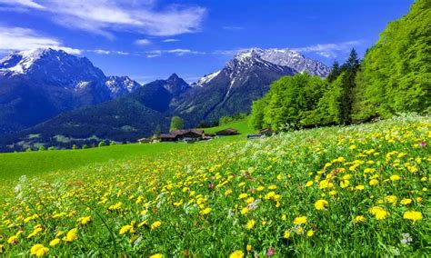 Snowy Mountain Desktop Wallpaper Mountain Meadow Landscape With Beautiful Mountain Flowers Yellow And White Flowers And Green