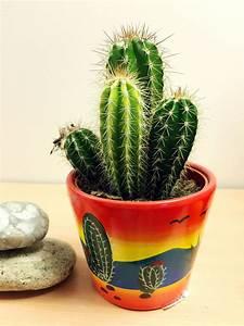 Pot A Cactus : 1 large cactus evergreen indoor office plant in ceramic pot cacti succulent ebay ~ Farleysfitness.com Idées de Décoration