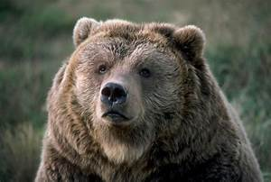 What Do You Do With a Bear That Kills a Person?  Grizzly