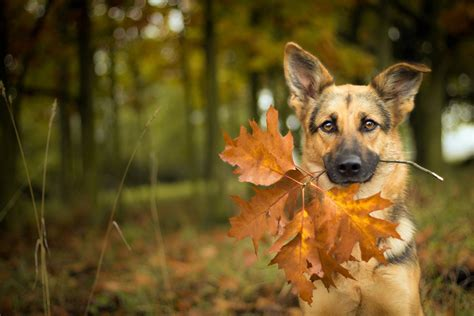 Fall Backgrounds Dogs by German Shepherd With Autumn Leaves Hd Wallpaper