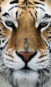 Bengal Tiger Closeup | Karl Drilling | Flickr