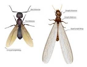Ants With Wings In Bathroom by Termite Swarmers The Difference Between Swarmers