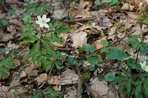 Was Blüht Jetzt Im Garten : anemone nemorosa ~ Lizthompson.info Haus und Dekorationen