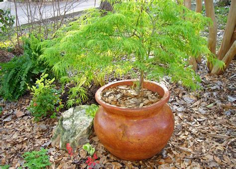 pot grown maple trees ornamental trees