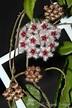 Hoyapassion: Hoya caudata 'Sumatra'