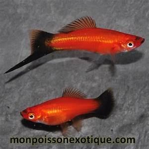 Poisson Aquarium Eau Chaude : xipho wagtail rouge 4 5 cm poissons eau chaude xiphos ~ Mglfilm.com Idées de Décoration