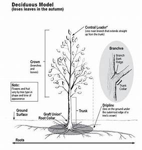 How Do Trees Grow And Develop