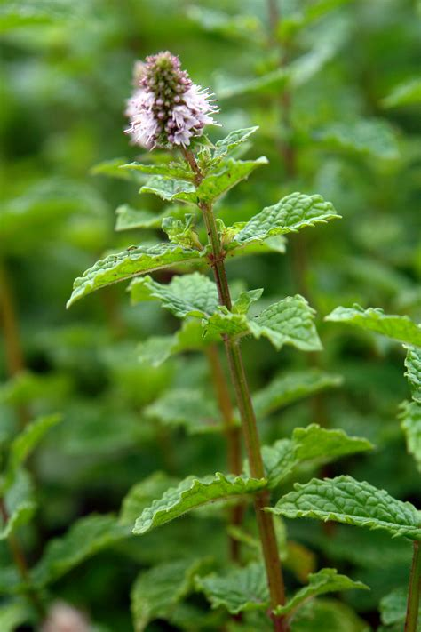 mint flowers magical mint in the kitchen or as a herb tea jekka s herb farm