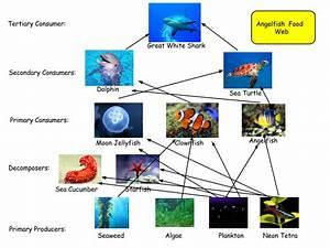 My Angelfish Food Web