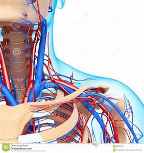 Male Throat Nervous And Circulatory System Royalty Free