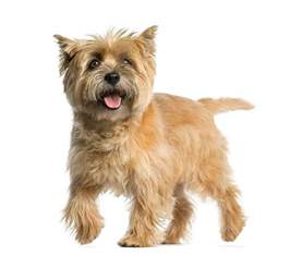 cairn terrier brindle color breeds picture