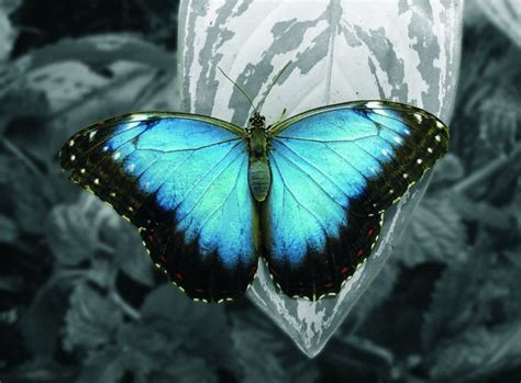 beautiful butterfly  blue wings